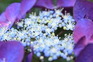 紫陽花の写真素材 [FYI04560652]