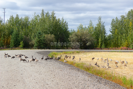 フェアバンクス、カナダガンの大群の写真素材 [FYI04560718]