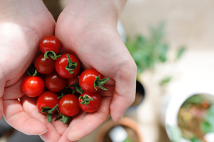 プチトマトの収穫の写真素材 [FYI04560932]