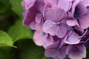 紫陽花の写真素材 [FYI04561025]