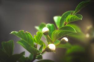 つぼみのシャンデリアの写真素材 [FYI04561090]