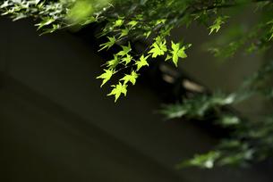 新緑もみじの写真素材 [FYI04561124]