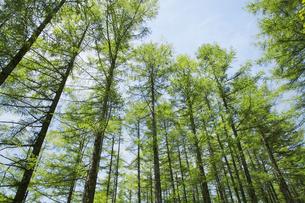 カラマツ林新緑の写真素材 [FYI04561138]