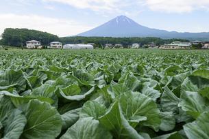 山梨県 鳴沢村のキャベツ畑と富士山の写真素材 [FYI04561169]