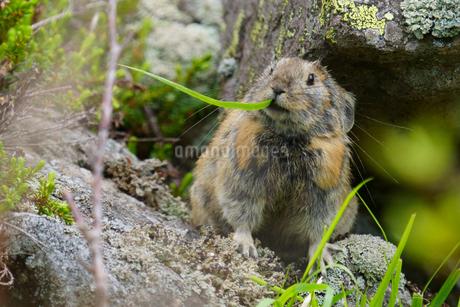 ナキウサギの写真素材 [FYI04561183]