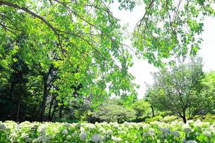 相模原北公園の紫陽花の写真素材 [FYI04561194]