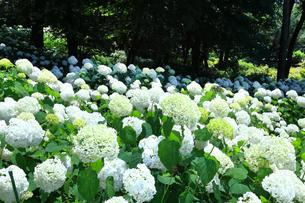 相模原北公園の紫陽花の写真素材 [FYI04561198]