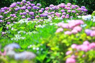相模原北公園の紫陽花の写真素材 [FYI04561202]