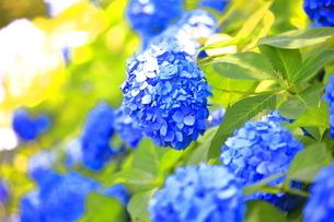 相模原北公園の紫陽花の写真素材 [FYI04561204]