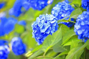 相模原北公園の紫陽花の写真素材 [FYI04561205]