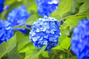相模原北公園の紫陽花の写真素材 [FYI04561206]