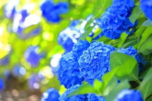 相模原北公園の紫陽花の写真素材 [FYI04561207]