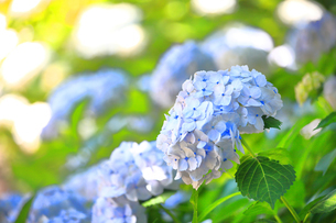 相模原北公園の紫陽花の写真素材 [FYI04561209]