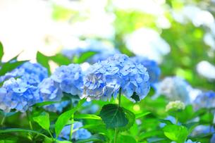 相模原北公園の紫陽花の写真素材 [FYI04561212]
