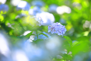 相模原北公園の紫陽花の写真素材 [FYI04561213]
