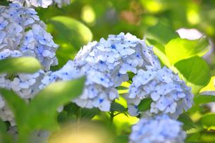 相模原北公園の紫陽花の写真素材 [FYI04561215]