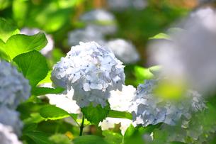 相模原北公園の紫陽花の写真素材 [FYI04561216]