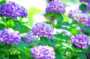 相模原北公園の紫陽花の写真素材 [FYI04561219]