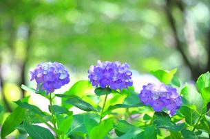 三輪の紫陽花の写真素材 [FYI04561221]