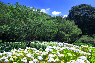 相模原北公園の紫陽花の写真素材 [FYI04561281]