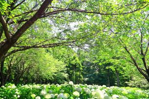 相模原北公園の紫陽花の写真素材 [FYI04561282]