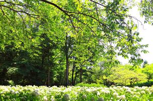 相模原北公園の紫陽花の写真素材 [FYI04561285]