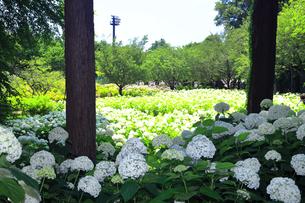 相模原北公園の紫陽花の写真素材 [FYI04561288]
