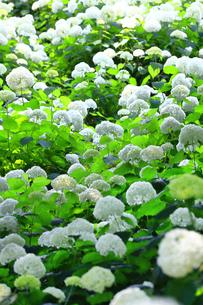 相模原北公園の紫陽花の写真素材 [FYI04561293]