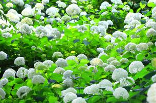 相模原北公園の紫陽花の写真素材 [FYI04561294]