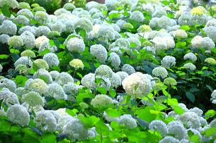 相模原北公園の紫陽花の写真素材 [FYI04561295]