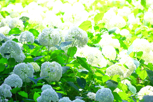 相模原北公園の紫陽花の写真素材 [FYI04561296]