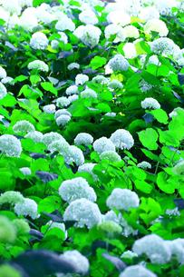 相模原北公園の紫陽花の写真素材 [FYI04561298]