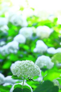 相模原北公園の紫陽花の写真素材 [FYI04561299]