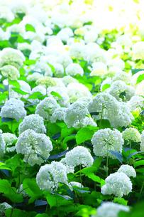 相模原北公園の紫陽花の写真素材 [FYI04561300]