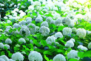 相模原北公園の紫陽花の写真素材 [FYI04561302]