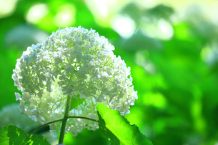 一輪の紫陽花(アナベル)の写真素材 [FYI04561308]