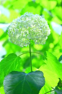 一輪の紫陽花(アナベル)の写真素材 [FYI04561312]