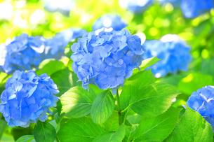 相模原北公園の紫陽花の写真素材 [FYI04561313]