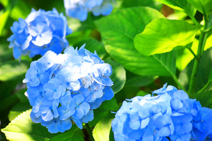 相模原北公園の紫陽花の写真素材 [FYI04561314]