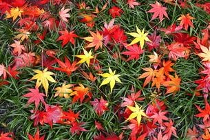 11月 散り紅葉が造る絵模様の写真素材 [FYI04561377]