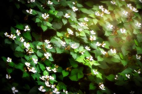 薬草・どくだみの花の写真素材 [FYI04561406]