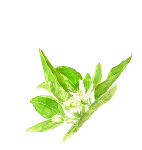ハッサクの白い花 木【水彩】のイラスト素材 [FYI04561412]