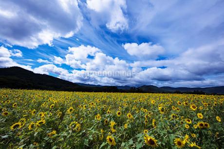 涼秋のひまわり畑の写真素材 [FYI04561586]