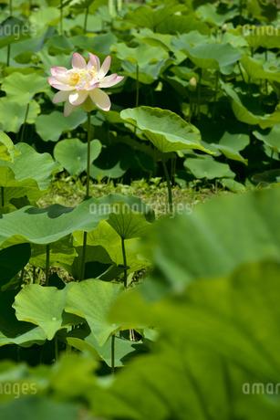 蓮の写真素材 [FYI04561663]