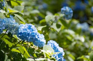 あじさいの花の写真素材 [FYI04561761]