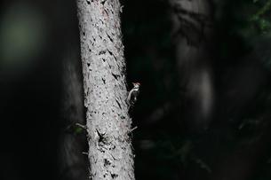 落葉松の幹のとまるアカゲラの写真素材 [FYI04561819]