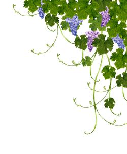ブドウの水彩画のイラスト素材 [FYI04561904]