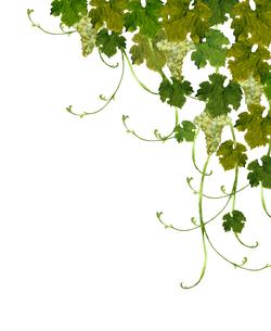 白葡萄の水彩画のイラスト素材 [FYI04561905]