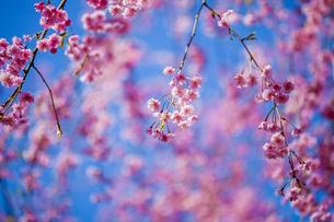しだれ桜の写真素材 [FYI04562310]