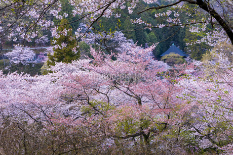 桜咲く大平山の写真素材 [FYI04562319]